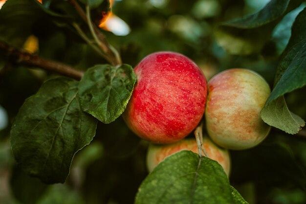 Яблоки на дереве в саду сезон сбора урожая