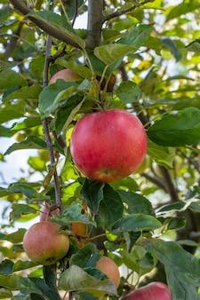Яблоки на ветвях дерева в летнем саду. малая глубина резкости. сосредоточьтесь на красном яблоке.