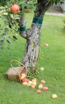 잔디에 사과