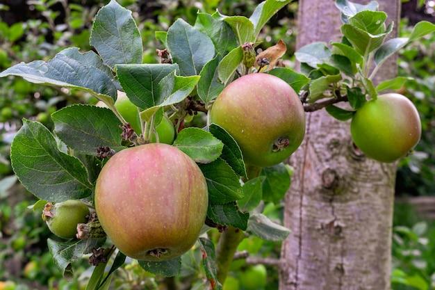 Яблоки на дереве в саду
