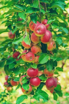 Apples on a tree in the garden