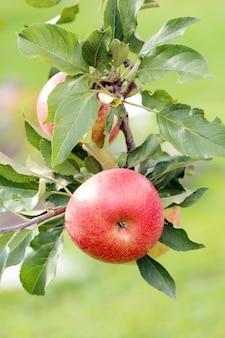 Apples on a treee