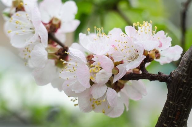 Apricot blooming in the garden.