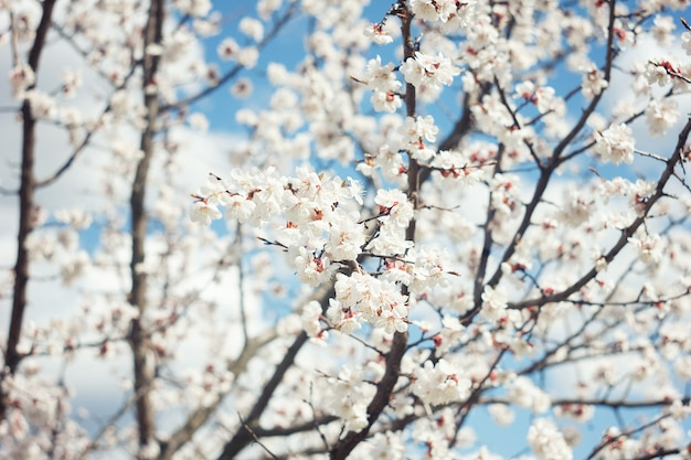 Apricot blossom close up.apricot tree flower, seasonal floral nature background