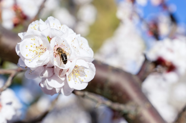 Apricot blossom details, flowers and insects in spring