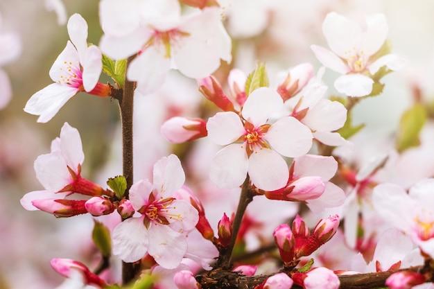 晴れた春の日にアプリコットの花_