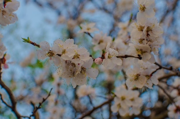 Apricot blossom spring botany beauty