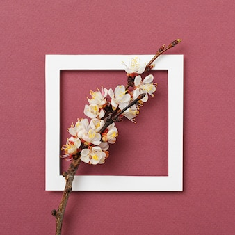 Apricot branch in a white frame on a red background as a greeting card - frame for an anniversary or wedding invitation - spring concept and minimal composition