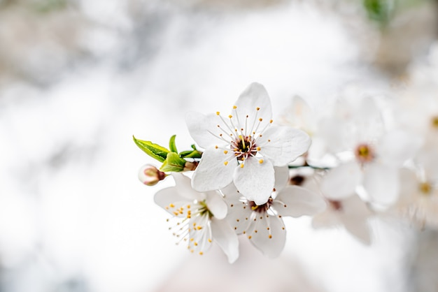 Apricot branch with blooming white flowers
