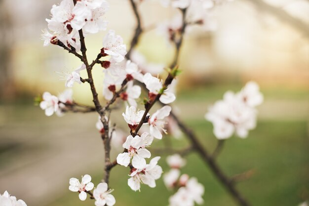 Apricot flower blossom