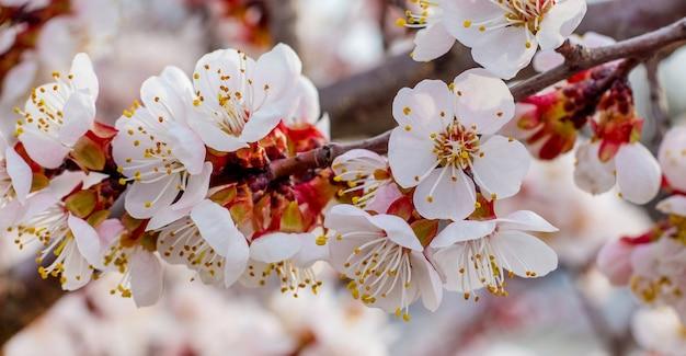 アプリコットの花は明るい晴れた日にクローズアップ