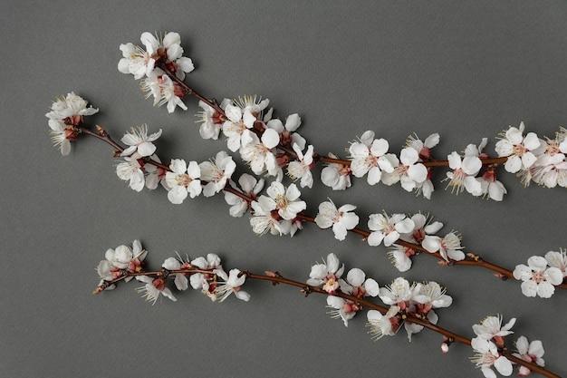 Цветки абрикоса на сером фоне. цветущее абрикосовое дерево.