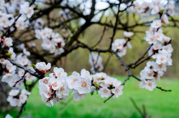 봄에 꽃이 피는 살구 과일 나무