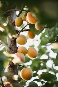 낮 동안 나무에 살구 과일