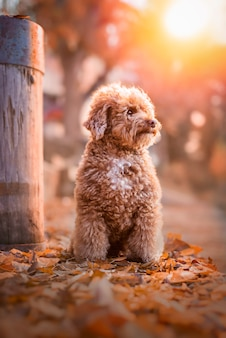Apricot toy poodle portrait in autumn with leaves in the park