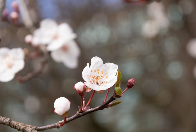 Apricot tree flower with buds blooming at springtime