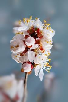 물방울과 부드러운 초점이 있는 살구 나무 꽃. 나뭇가지에 봄 흰 꽃입니다. 꽃에서 살구 나무입니다. 봄, 계절, 살구 나무의 흰 꽃이 닫힙니다.