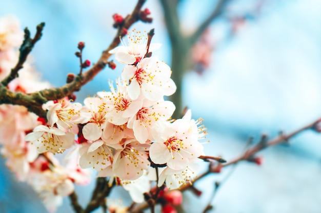 아름 다운 꽃과 함께 봄에서 살구 나무입니다. 원예. 선택적 초점.