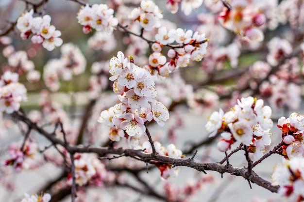 開花期のアプリコットの木