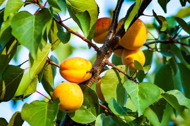 庭で成長している果物とアプリコットの木