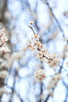 Apricot trees bloom with white flowers in early spring