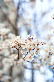 초봄에 흰 꽃으로 피는 살구 나무