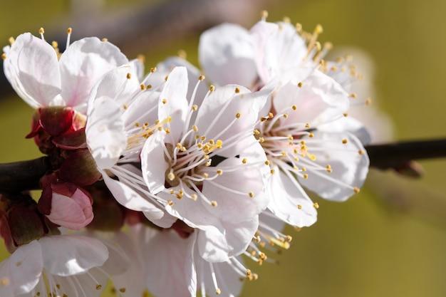 살구는 봄 화창한 날에 아름다운 분홍색 꽃을 피 웁니다