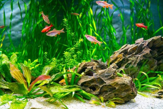 Аквариумные рыбки и водоросли в пресноводном аквариуме. подводный мир.