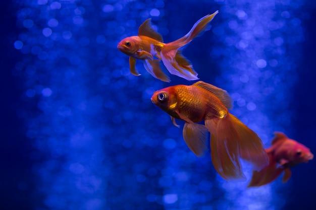 Аквариумные рыбки также известны как золотая рыбка плавает в голубой воде