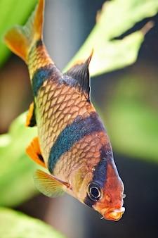 水族館の魚-水族館のバーバスプンティウステトラゾナ