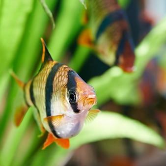 水族館の魚-barbus puntius tetrazona