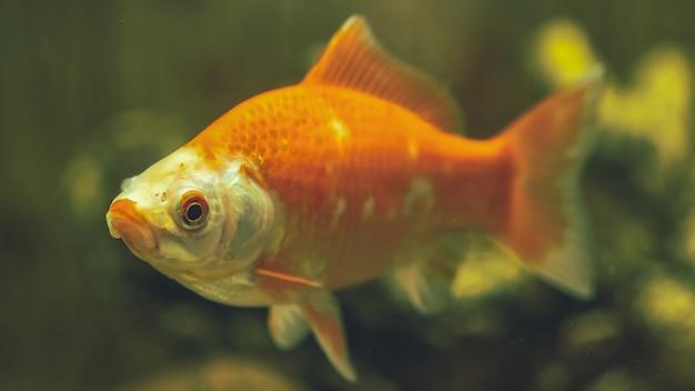 Аквариумные рыбки комета крупным планом. подводный мир.