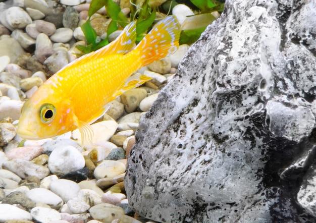 Aquarium fish dwarf cichlid-aulonocara(aulonocara sp. orchidea red)