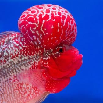 수족관 물고기, 블루 스크린에 꽃 뿔 물고기