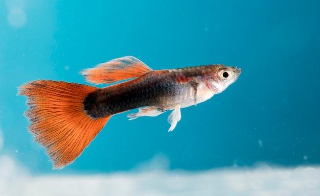 水族館の魚、グッピー