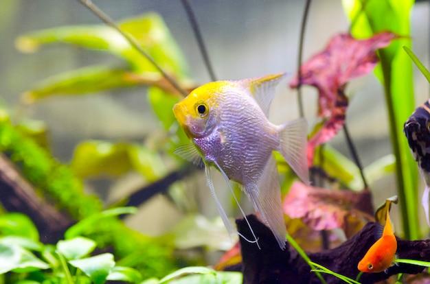 수족관 물고기 스칼라 레