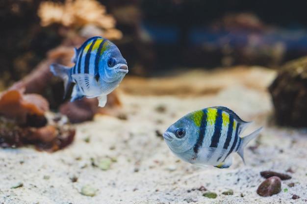 水族館の魚-軍曹またはパンターノ。 abudefduf saxatilis。