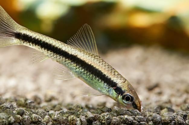수족관 물고기. 샴 조류 먹는 사람