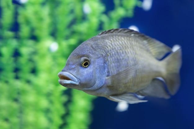Аквариумные рыбы плавают в воде. cyrtocara moorii крупным планом. цихлид аквариумных рыб под водой.