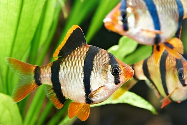 水族館の魚-水族館のバーバスプンティウステトラゾーナ