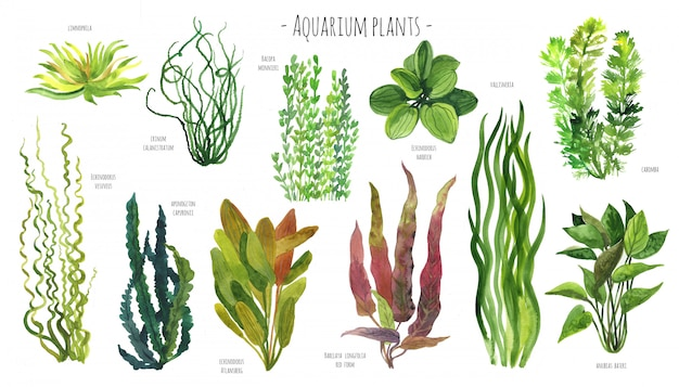 Aquarium plants watercolor