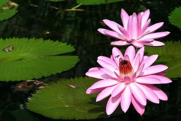 水生蜂花蜜ピンクのユリパッド水