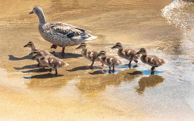 Водные птицы гуси утки лебеди чайки пеликаны Premium Фотографии