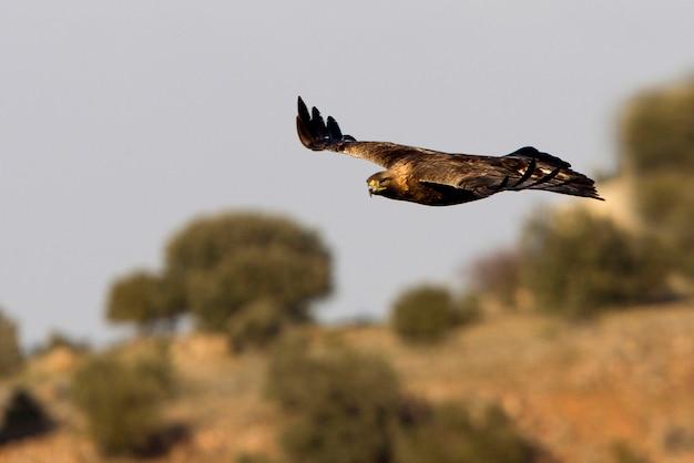 Aquila chrysaetos. golden eagle