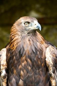 Aquila chrysaetos в заповеднике, сазерленд, шотландия