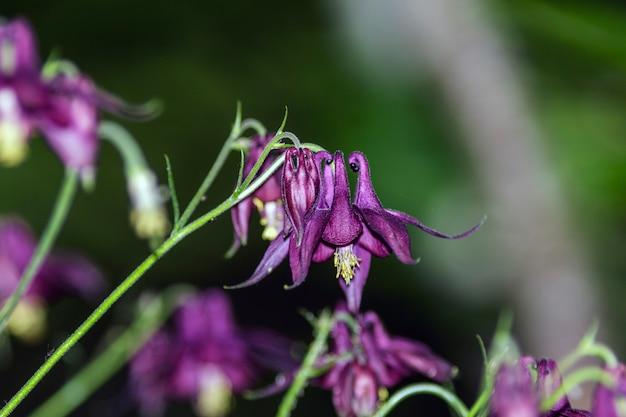 一般にダークコロンバインとして知られているaquilegiaatrataは、アルプスとアペニン山脈の山脈に広がるキンポウゲ科に属する植物です。
