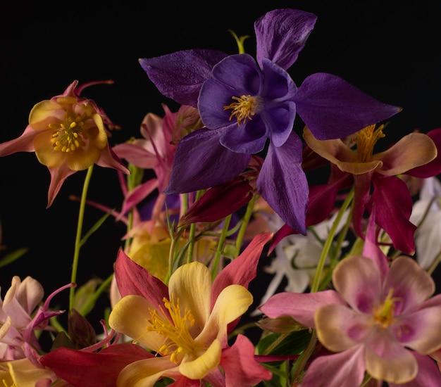 黒の背景にaquilegiaglandulosaの花