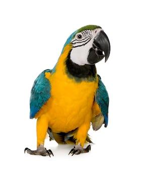 Молодая сине-желтая ара - ara ararauna (8 месяцев) изолирована