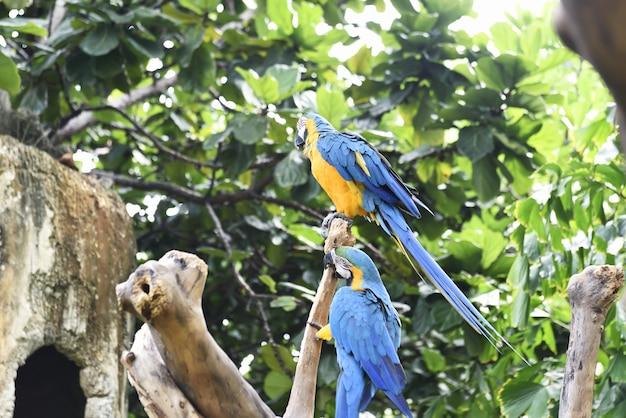 美しい青と黄色のコンゴウインコ(ara ararauna)