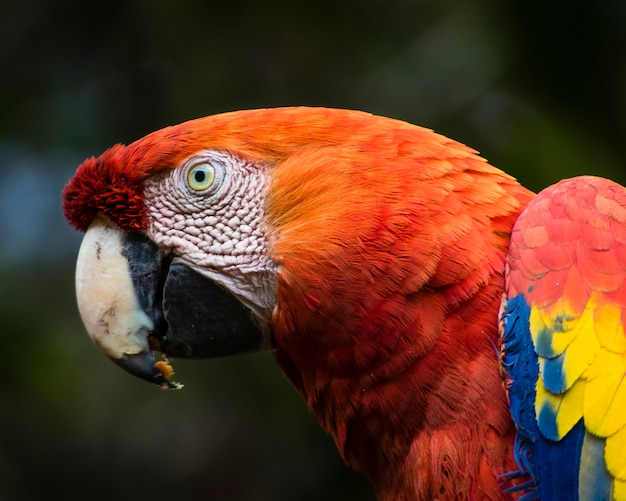 Ara macaw head